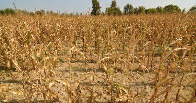 Из 16 тыс га, пострадало 13 тыс. Глава АПК Гагаузии об урожае кукурузы в этом году