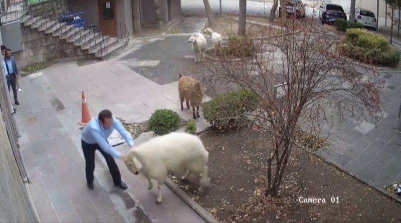 (Видео) Овца, коза и три барана оказались в городской администрации в Турции. Они сбежали с фермы
