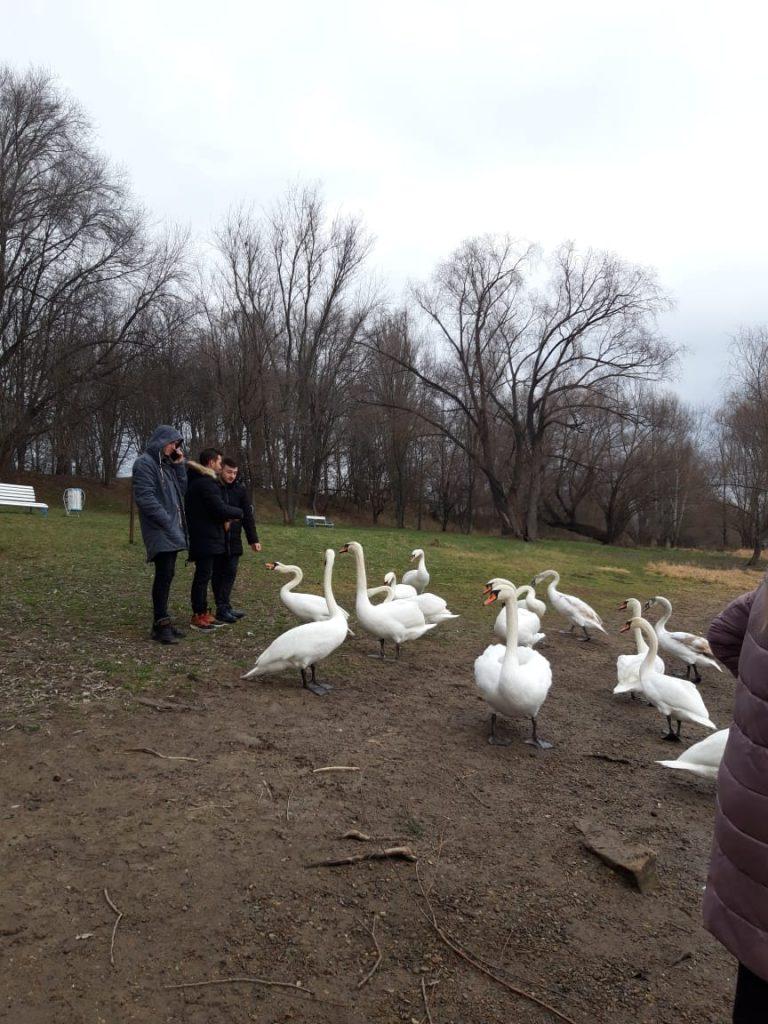Десятки лебедей остались зимовать в Молдове (фото)
