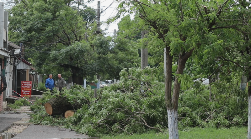 (Фото) Нотариусу закон не писан. Как в Комрате вырубили четыре здоровых дерева  без разрешительных документов