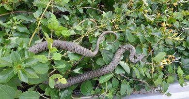 (Фото) На юге Молдовы спасатели эвакуировали змею, которая находилась у балкона квартиры