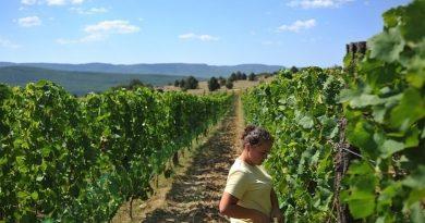 Урожай винограда в Молдове под угрозой из-за болезней. Фермеры не успевают обрабатывать кусты