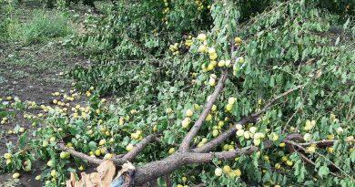 (Фото) Агрохозяйства Гагаузии пострадали от града