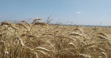 (Фото) Хороший урожай, но не хватает топлива. В АПК Гагаузии рассказали как проходит уборка зерновых