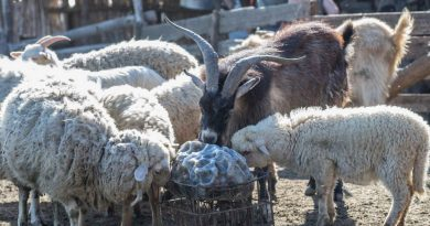 В Одесской области пройдут соревнования по перегону овец