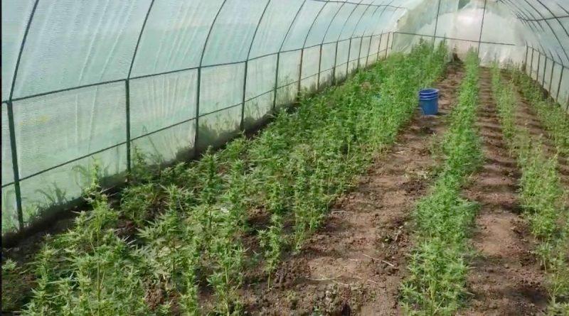 В теплице выращивал коноплю. 66-летнему жителю Глодянского района грозит до двух лет тюрьмы