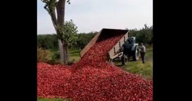 (Видео) На севере Молдовы фермер выкинул у дороги тонны яблок