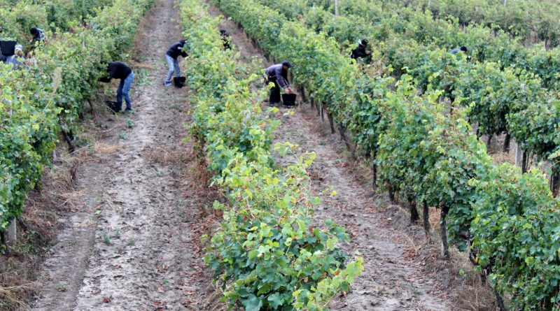 (Фото) Заключенные из Леовской тюрьмы привлечены на уборку винограда. Их сроки наказания сократят